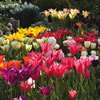 Mixedtulips