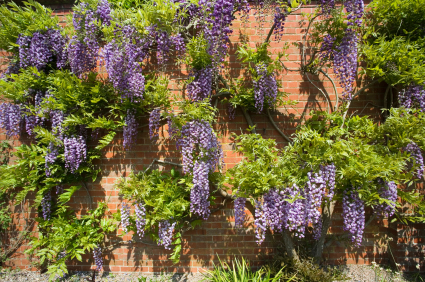 Wisteriaon wall