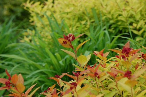 Spirea summerfoliage