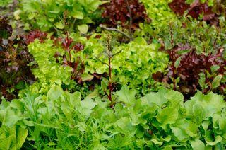 Vegetable lettuces