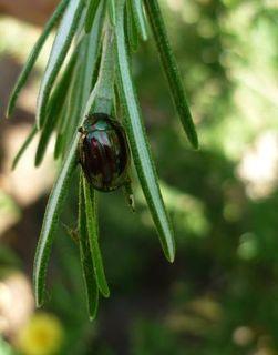 Rosemarybeetle