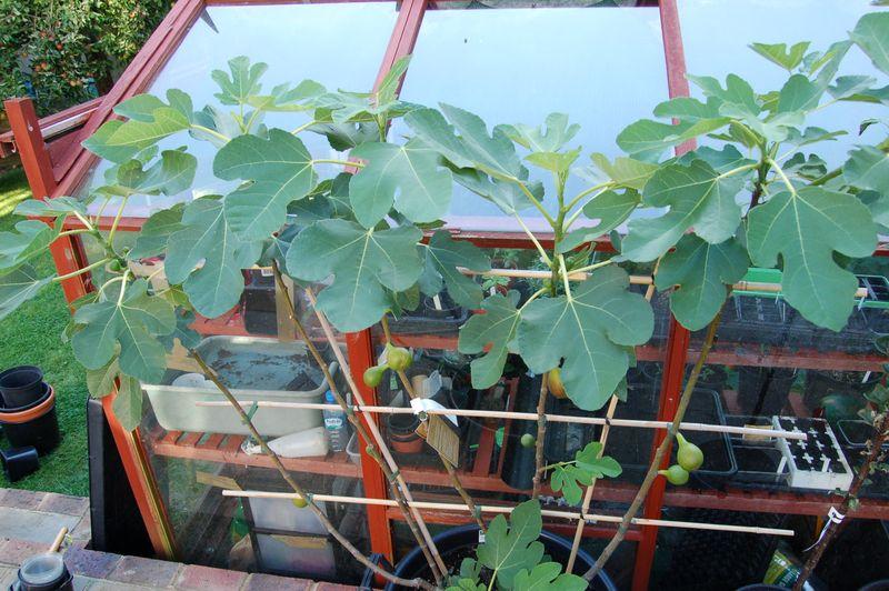Fan fig in pot