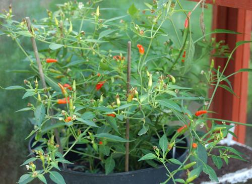 Hotchilliplant