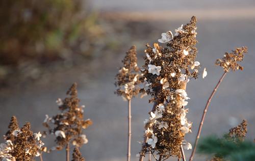 Hydrangeapaniculatawinter