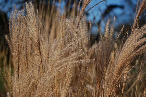 Wintergrassheads