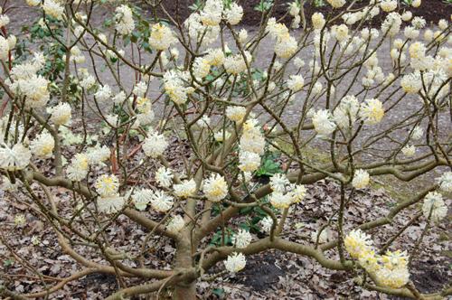 Edgeworthiachrysantha
