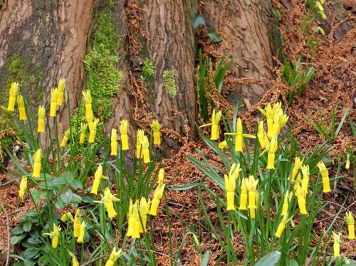 Narsissuscyclaminus