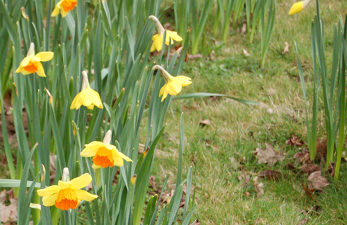 NarcissusOrangetrumpet