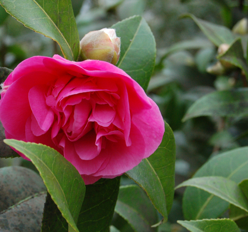 Camelliapinkflower&bud