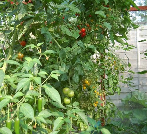 Tomatoesgrowspirals