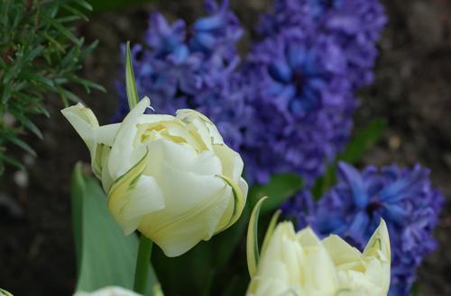 Tulips&hyacinths
