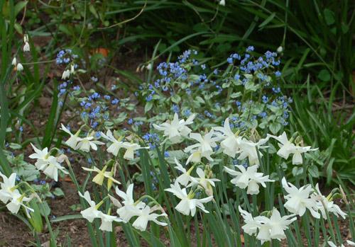NarsissusThalia