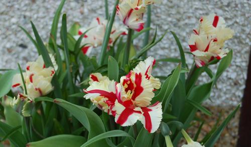 Tulipwhitewithredstripe