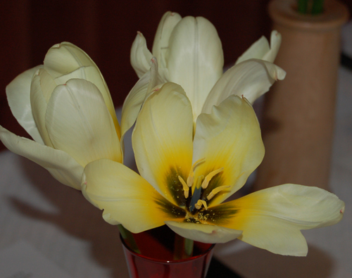 Tulipearlyspring