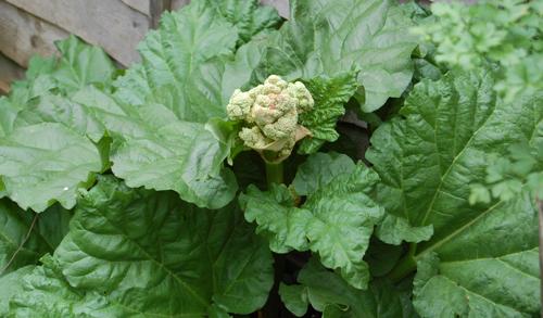 Rhubarbflower