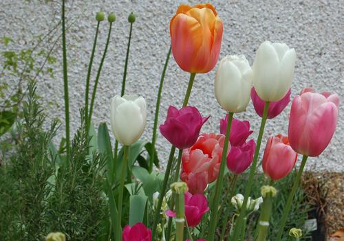 Tulipsmixedcolours