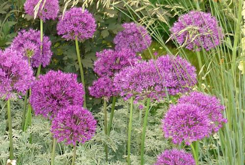 Alliumpurplesensation