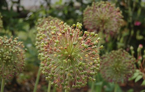 Alliumpurplesensationseedheads
