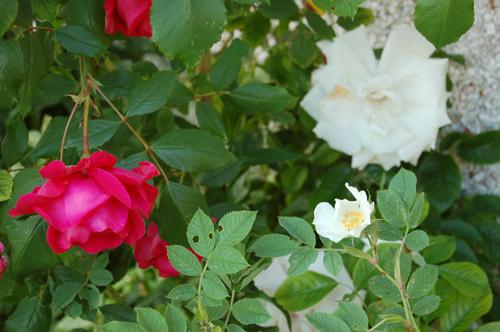 Rosesred&whiteonbackwall
