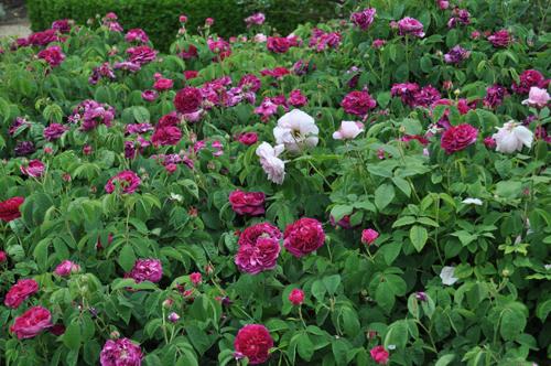 Rosesatloseley