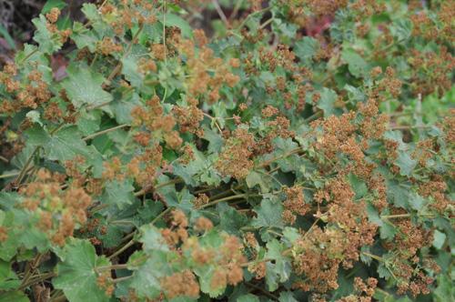 Alchemillamollisflowersover