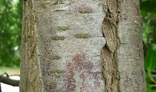 Prunus-bark