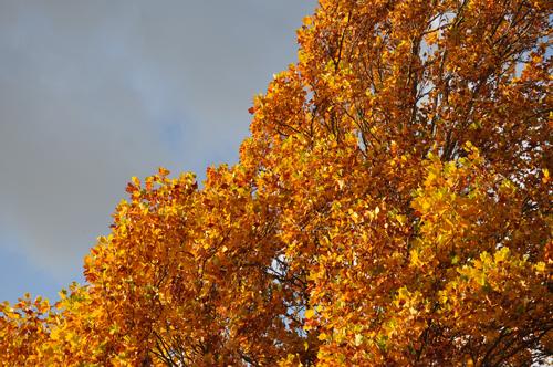 Yellowliriodendrontul