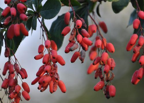 Pinkberberisberries