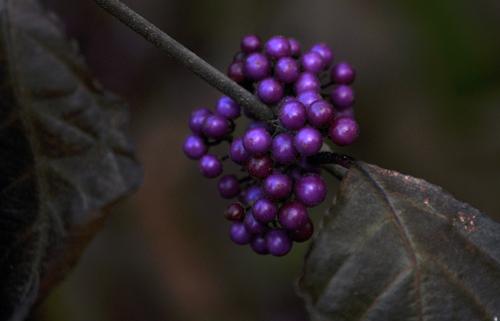 Purplecallicarpaprofusion