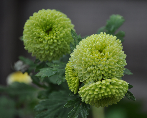 Greenchrysanth