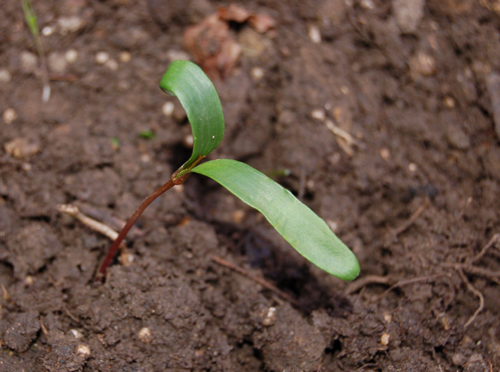 Sycamoreseedling