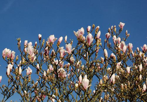 Magnoliasoulangeana
