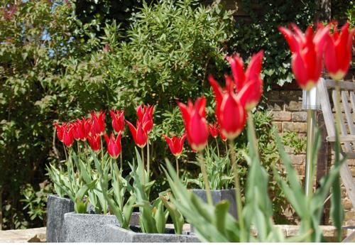 Tulip-time