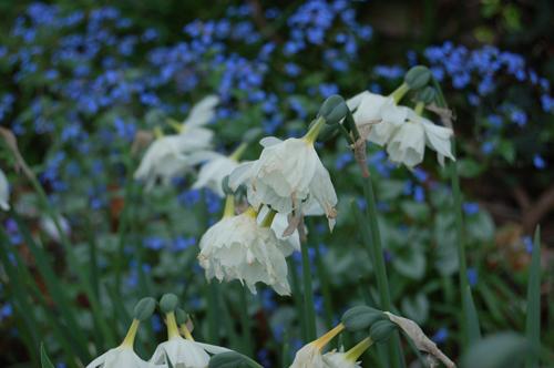 Faded-daffodils