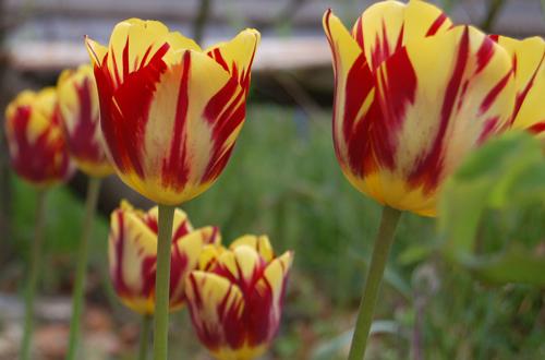 Tulipsyellow&redstripes