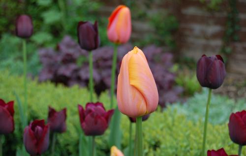 TulipsdordogneQoftN