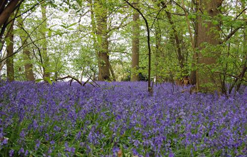 Bluebells@hatchlandscarpet