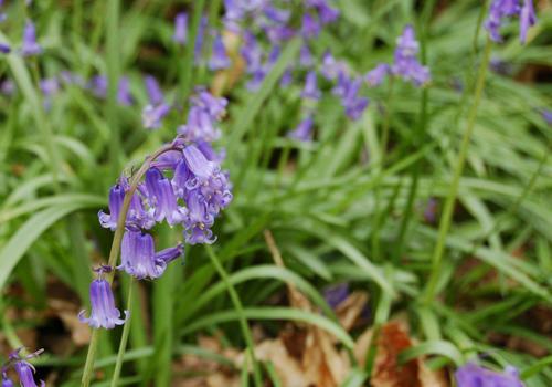 BluebellHyacinthoidesnonscripta