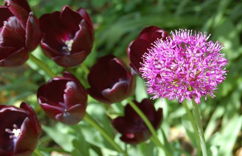 Allium&QofNtulip