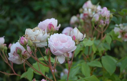 Rosepalepinkonobolisk