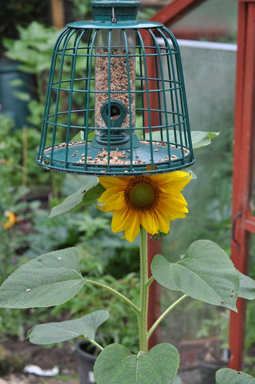 Sunflowerfrombirdfeed