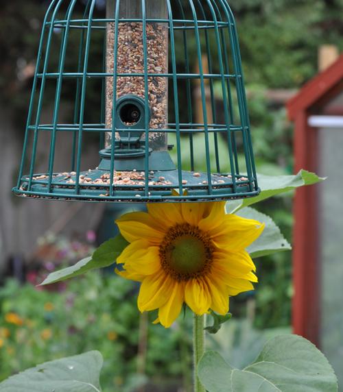 Sunflowerfrombirdseed