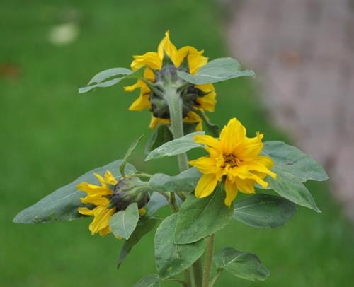 Sunflowertriplehead