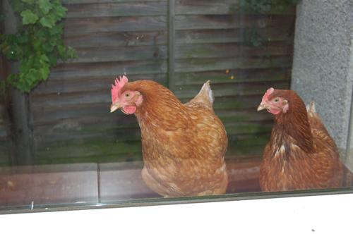 Ripchickens