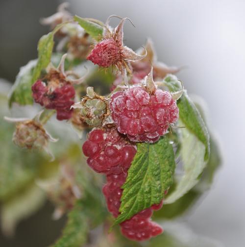 Raspberriesfreshfrozen