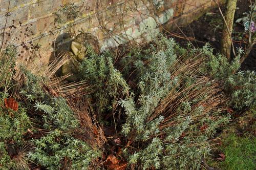 Santolina-before-pruning