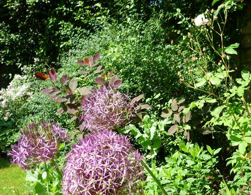 Alliumsinlatemayborder