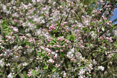 Appletreeblossom