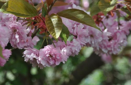 Prunusdoublefloweringpink