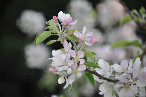 Appleblossomcloseupbud&bloom